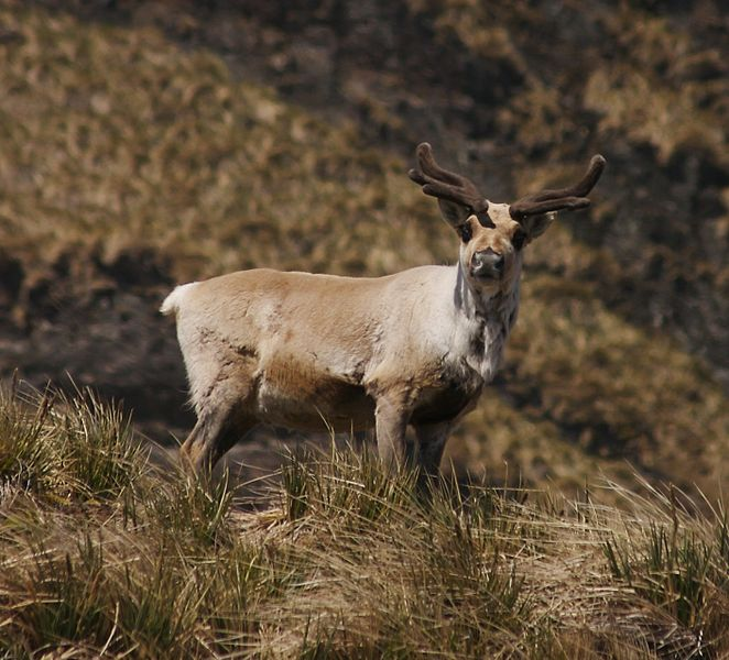 Bright Eyes Study Finds Reindeers Eyes Change Colour With Arctic