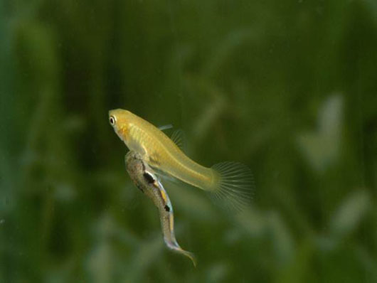 study on wild guppies online simulation Perform an online laboratory simulation and examine the interplay between natural and sexual selection in a population of wild guppies teacher notes additional activities.