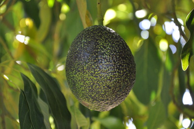 South African Firm To Market Gem Avocados