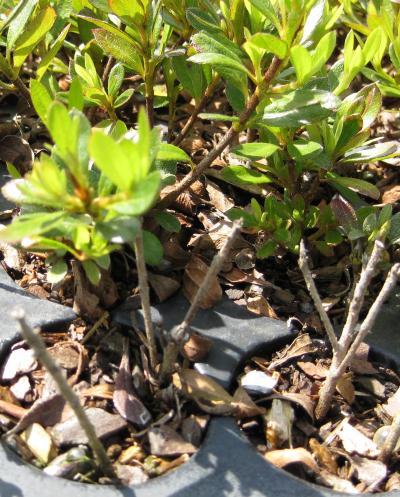 Thermotherapy rids azaleas of deadly fungal disease |Azalea Diseases