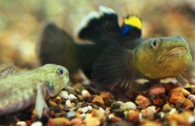 Fish to flirt