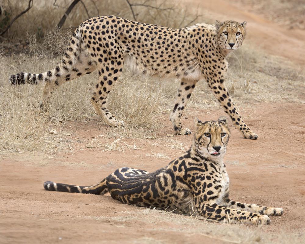 how the cheetah got its stripes u2014a genetic tale
