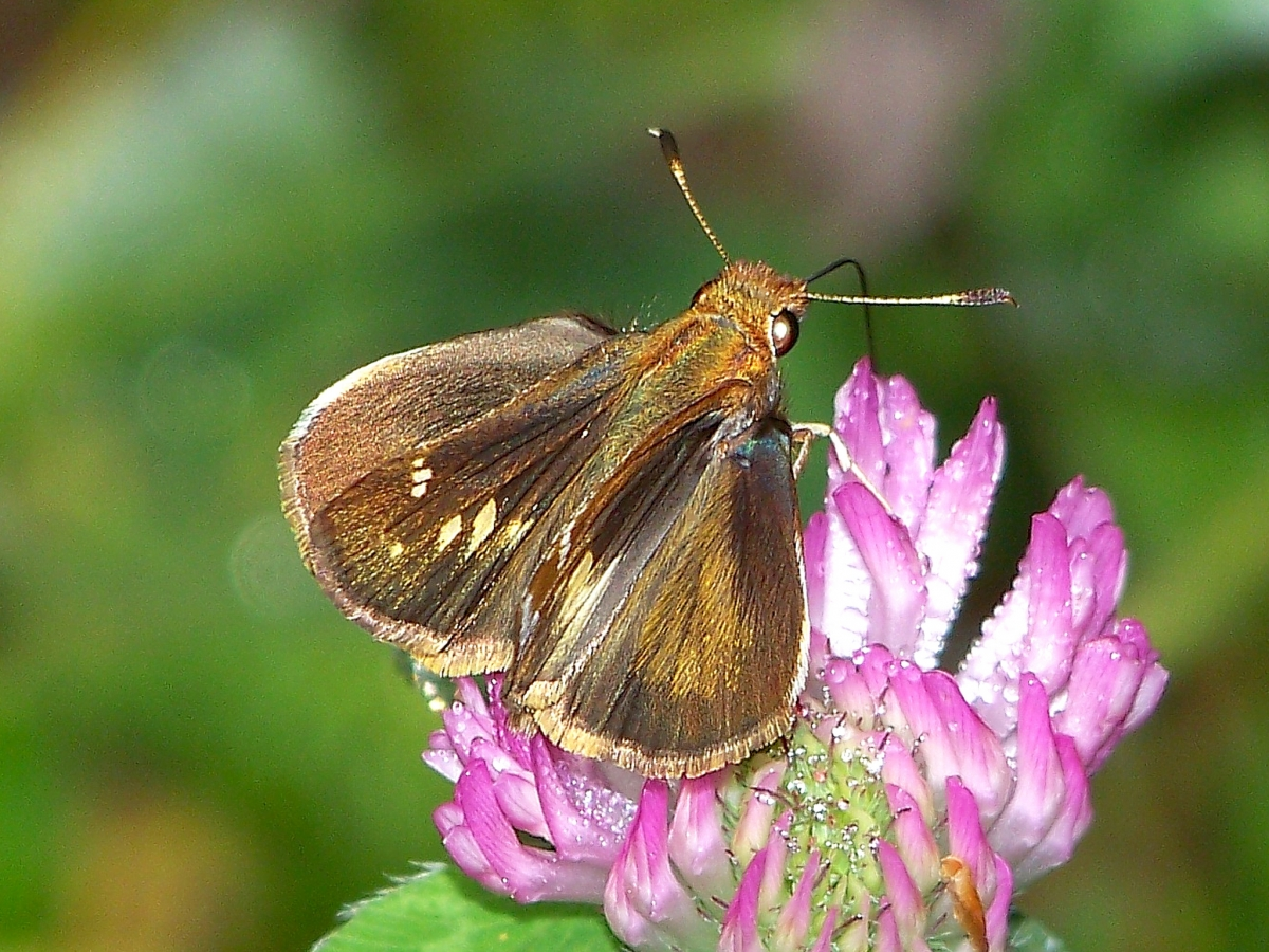 Image result for Global warming winner: Once rare butterfly thrives