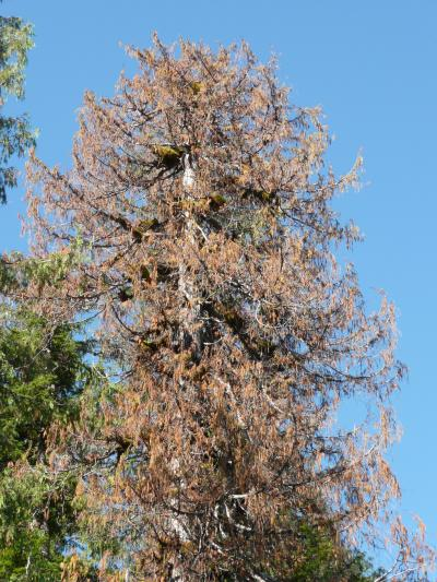 Yellow cedar are dying in alaska scientists now know why Cedar credit