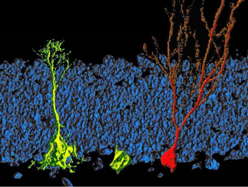 Lipid Metabolism Regulates The Activity Of Adult Neural