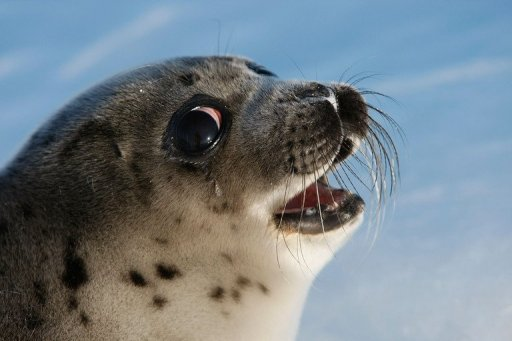 Canada senate committee endorses seal cull