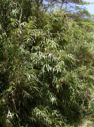 A new species of bamboo-feeding plant lice found in Costa Rica