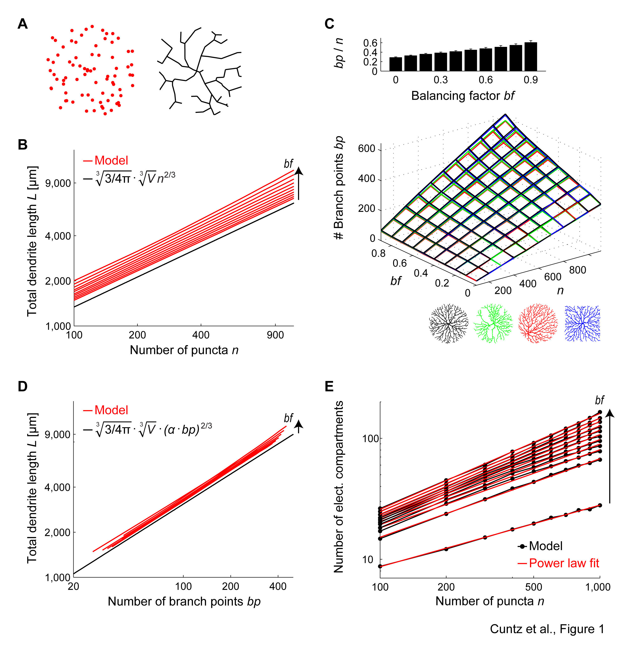 Branching Out A Mathematical Law Of Dendritic Connectivity Branch Wiring