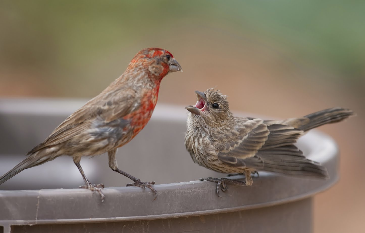 Baby birds must learn how to sing - answers.com
