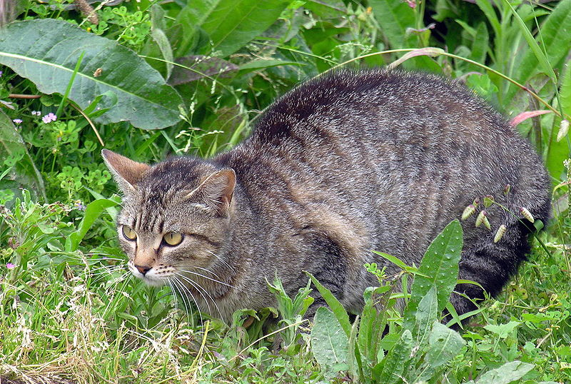 Feral Cat As Pet Australia