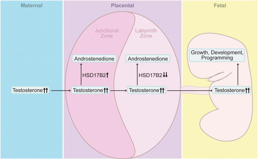 thesis on study of placental morphology in fetal growth restriction Fetal undernutrition is a major factor in the pathophysiology of fetal growth restriction model to study fgr mechanisms and placental morphology and.