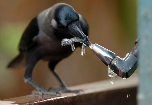 Why Clever Crow Is No Bird Brain