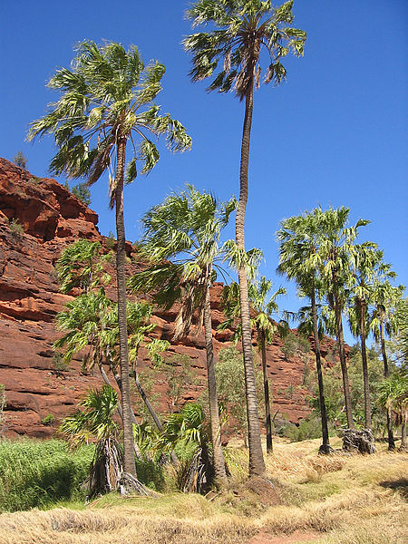 Genetic tests show Central Australian palm trees diverged from