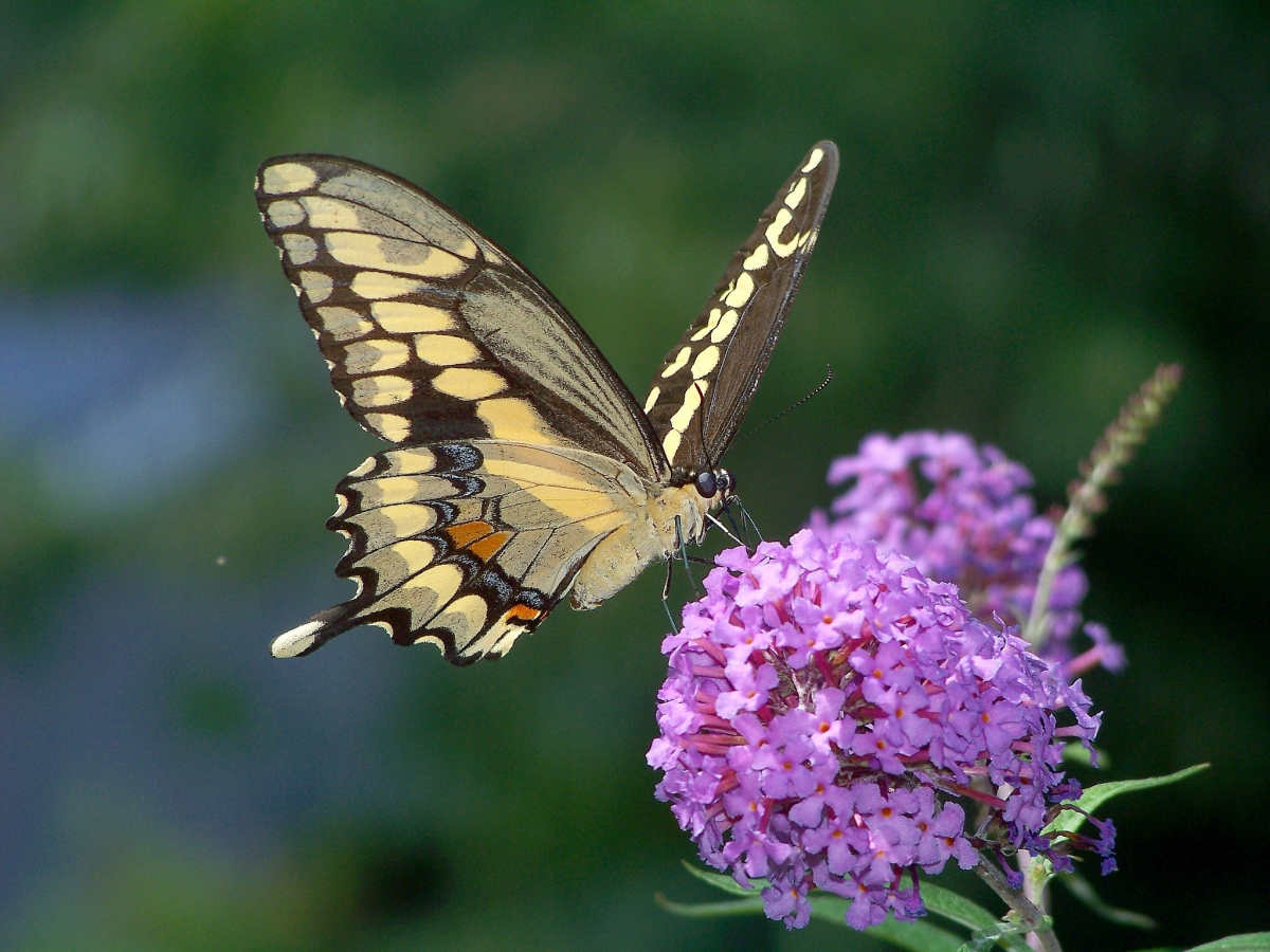 massachusetts butterflies move north as climate warms w video