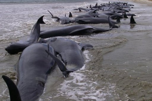 Pilot Whales Stranded On New Zealand Beach