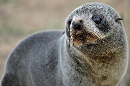 53 Dead Fur Seals Wash Up On Australian Beach