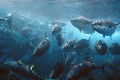 tuna overfishing
