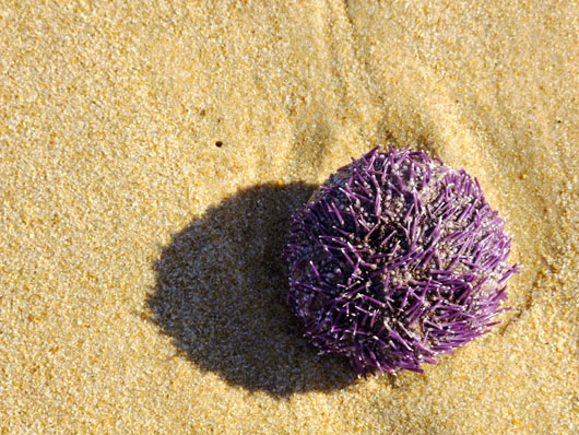 Sea urchins could contain the genetic key to curing some