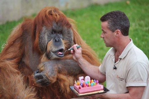 Orangutan 50th Birthday Oldest reproductive or...