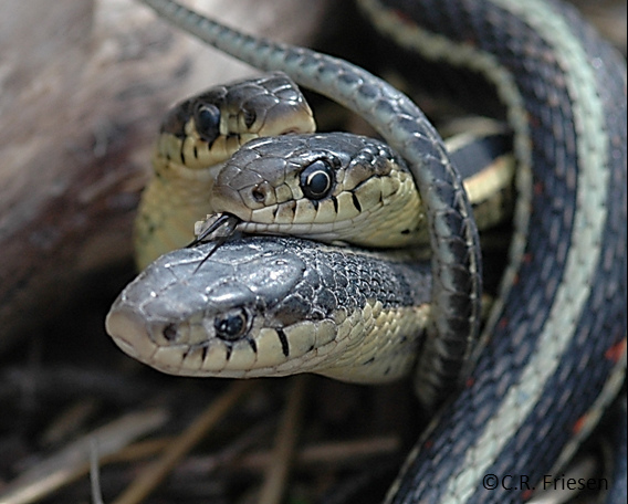 Male Or Female Snake
