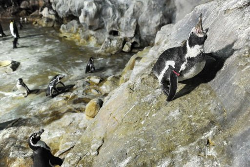 japan zoo hunts for escaped penguin