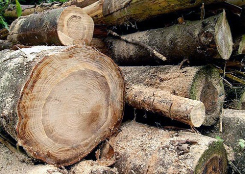 Tree Ring Science Takes On The Modern Age