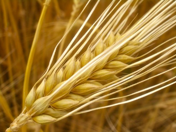 the barley genome unravelled and it s bigger than yours
