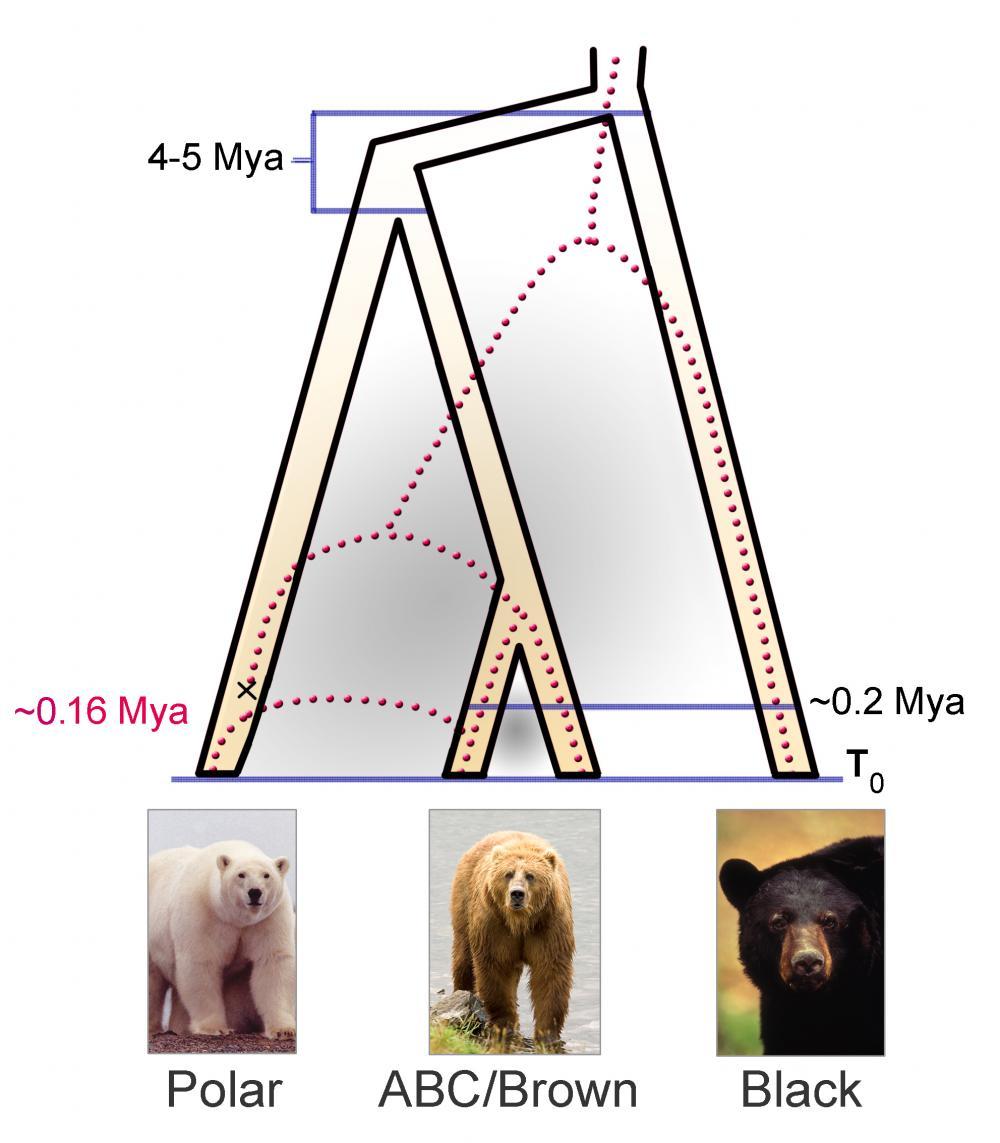 uyfyt5fdyrdy polar bear evolution tracked climate change, new dna study suggests