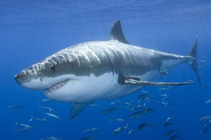 Great White Shark Endangered | Are Great White Sharks Endangered
