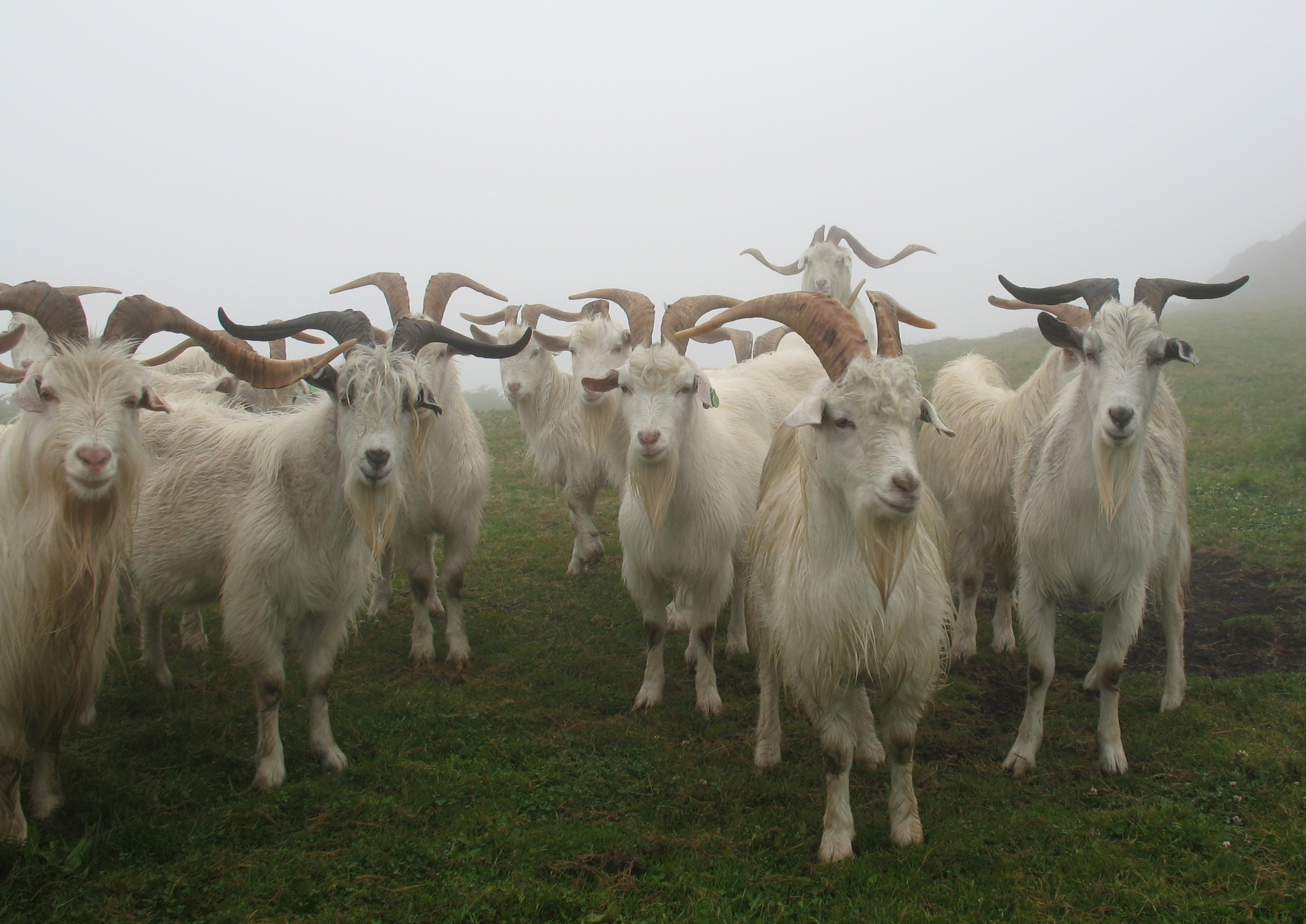 global gene pool of the goat seriously under threat