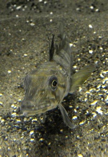Japan Aquarium Shows Mysterious Clear Blood Fish