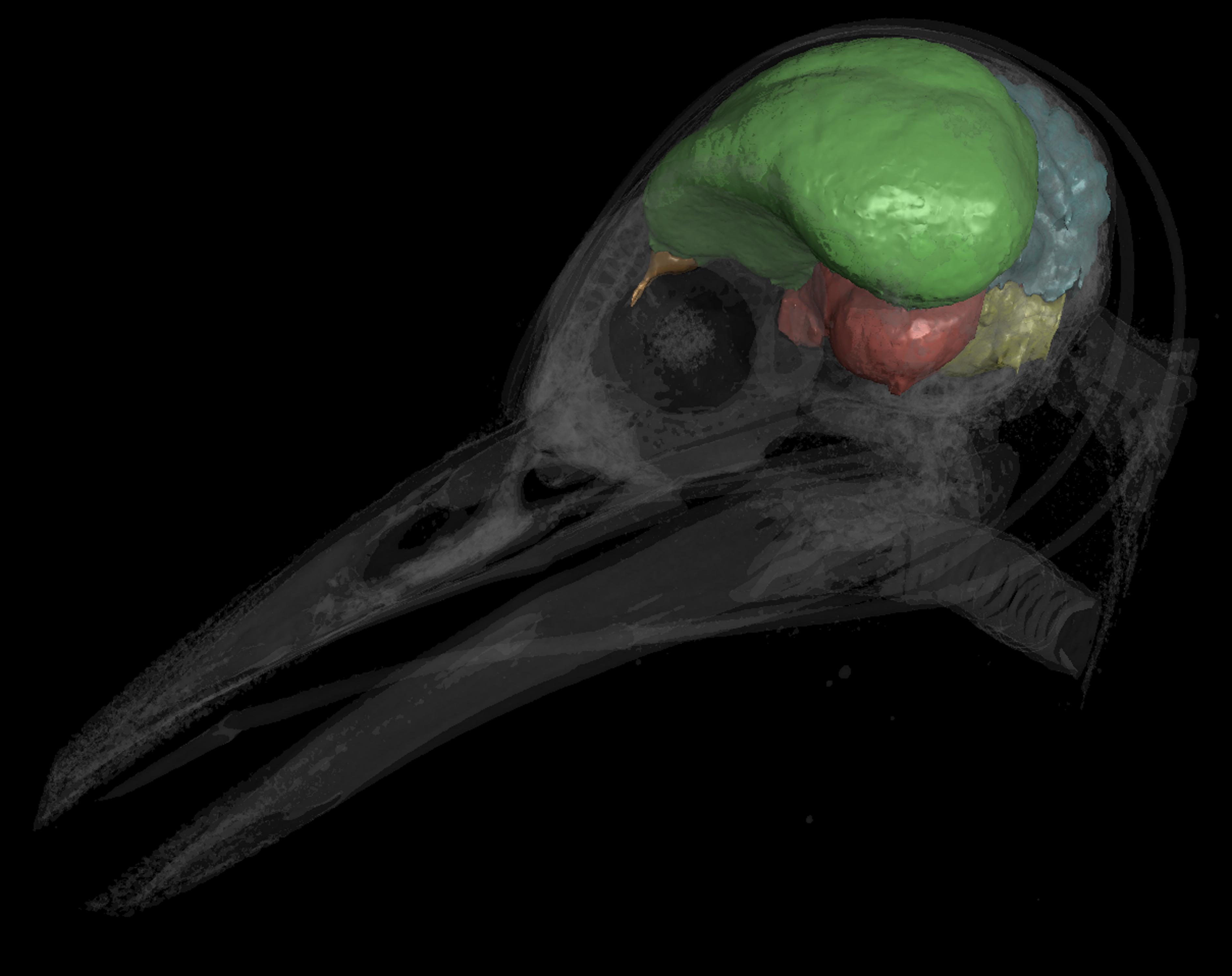 Bird brains predate birds themselves: \'Flight-ready\' brain was ...