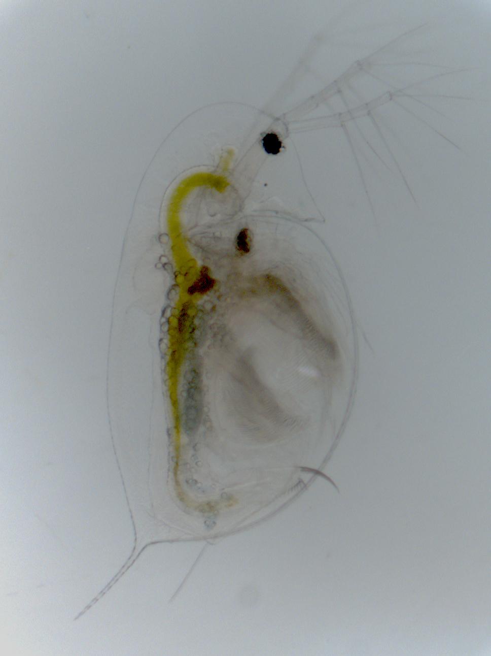 Can A Tropical Water Flea Invade European Lakes