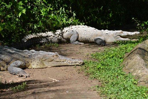 jamaican crocodile - photo #14