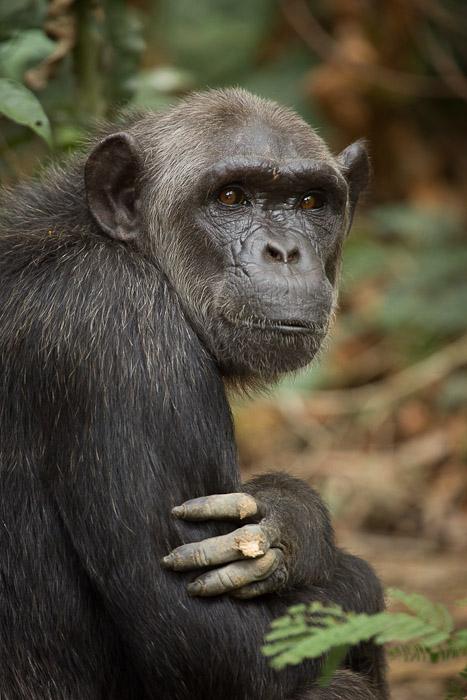 Great Ape Genetic Diversity Catalog Frames Primate
