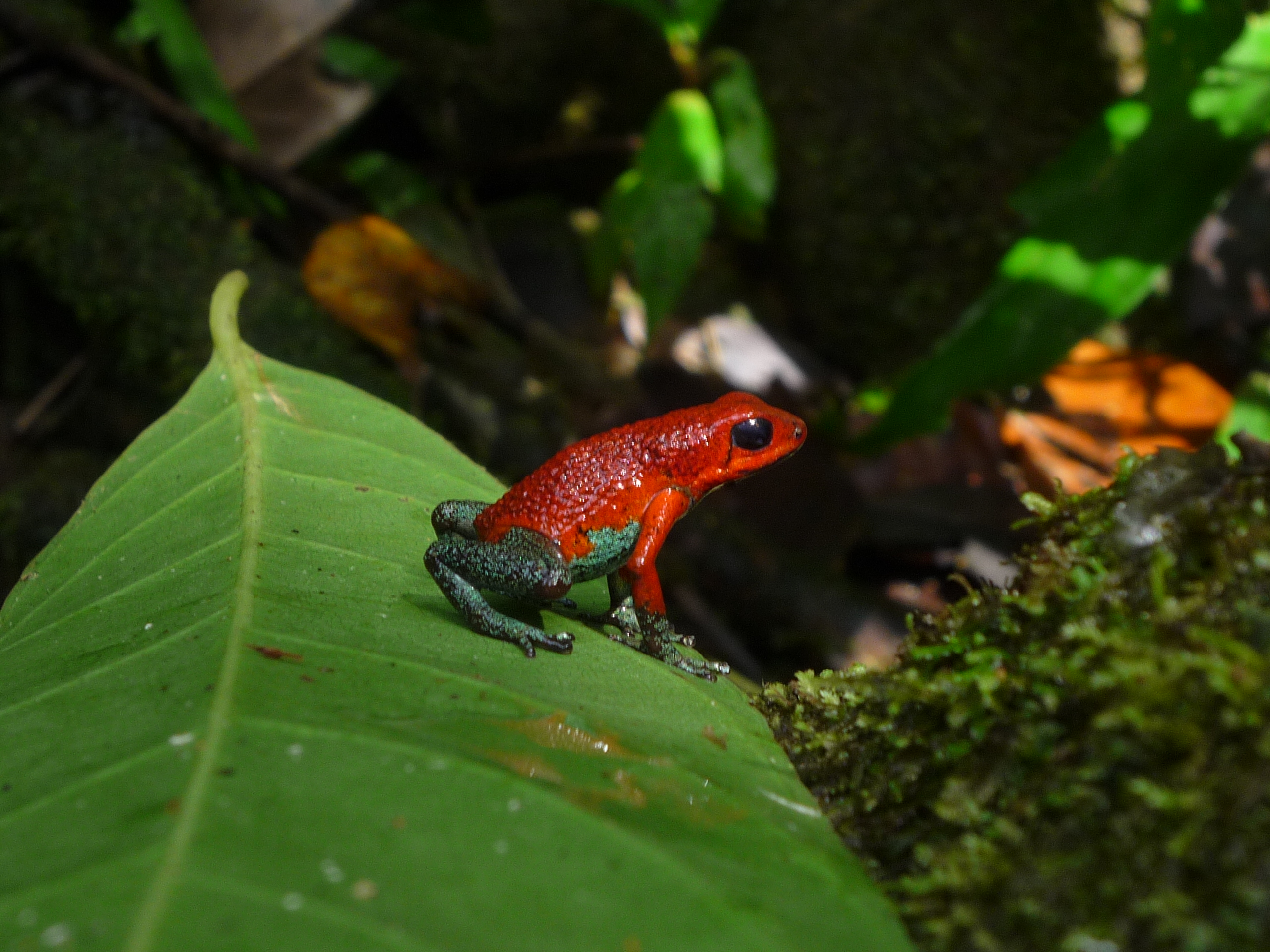 poison dart frog varies mating call to suit situation