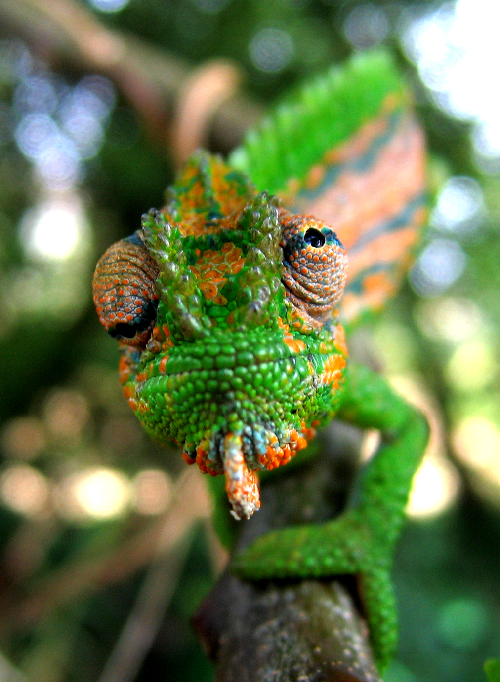 How does the chameleon change color