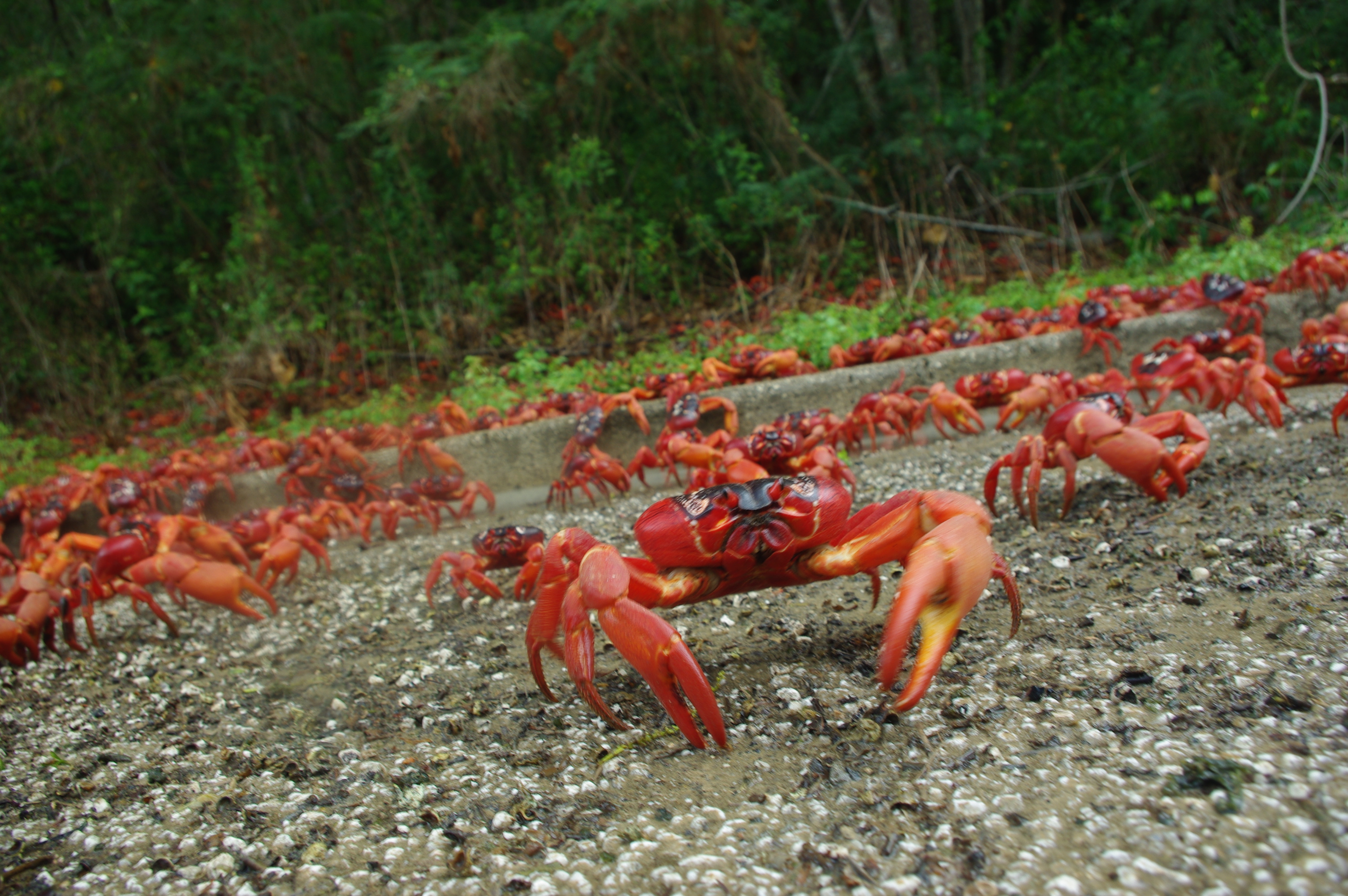 red crabs of christmas island Each year, the land-dwelling christmas island red crab takes an arduous and shockingly precise journey from its earthen burrow to the shores of the indian ocean where weeks of mating and egg.
