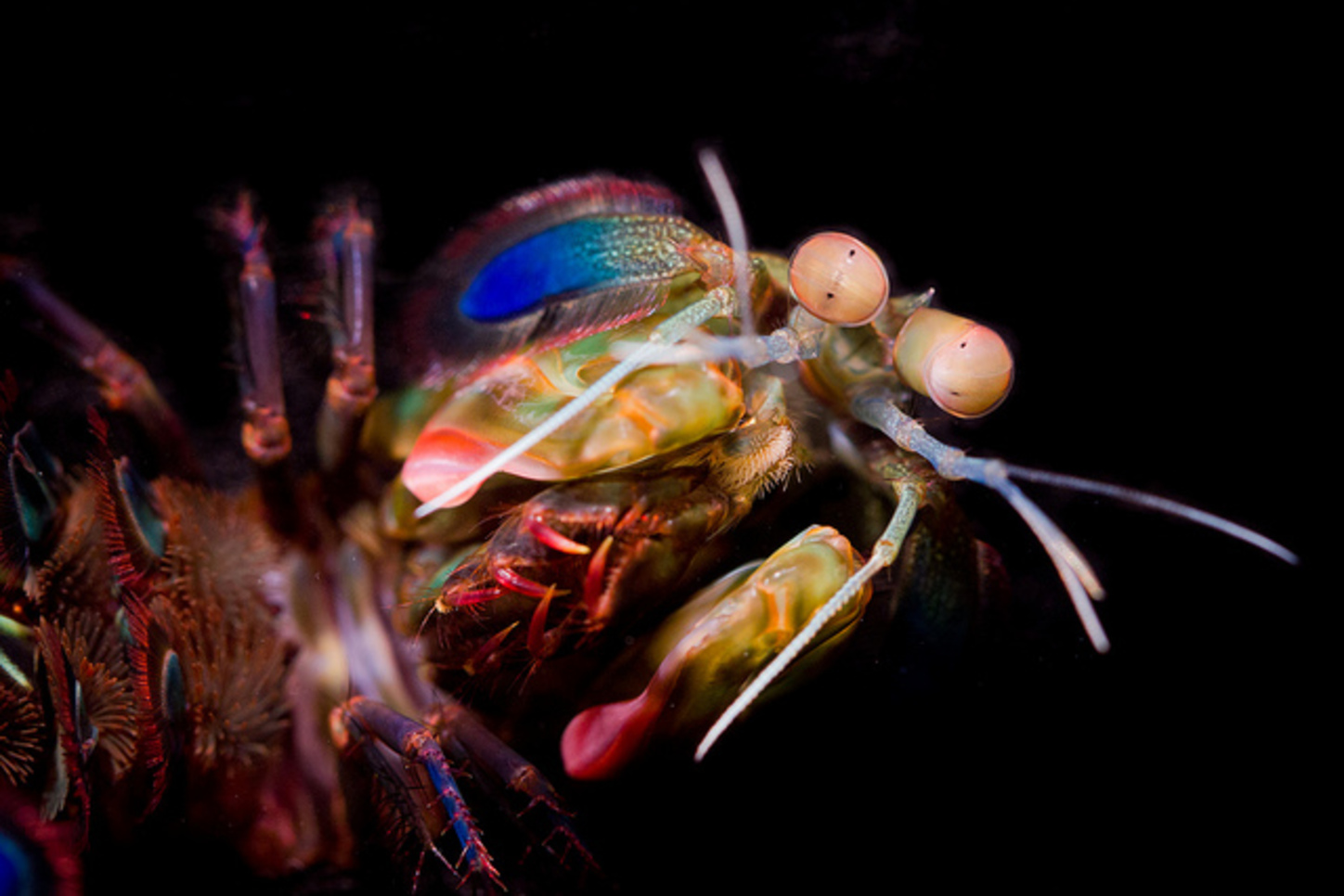 Mantis Shrimp Have The Worlds Best Eyesbut Why - 24 beautiful animals with different coloured eyes