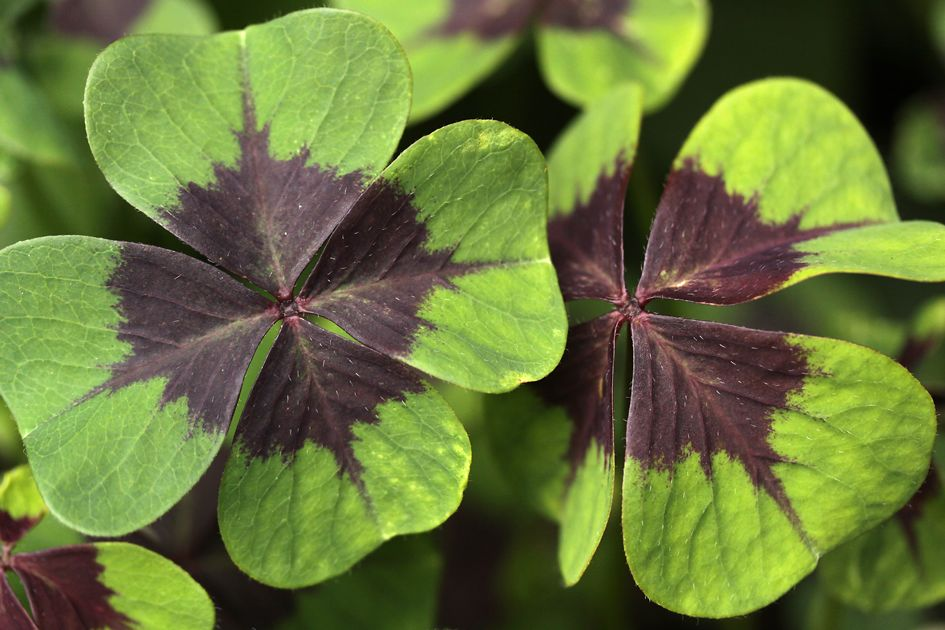 That Four Leaf Clover You Found May Not Be A Four Leaf Clover