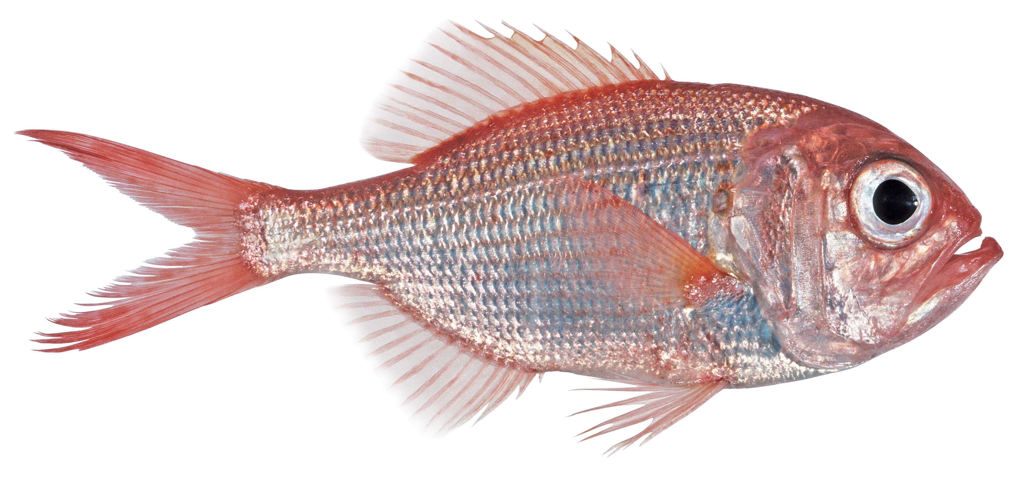 FishMap On The Atlas Of Living Australia Provides The Geographical And  Depth Ranges Of Some 4500 Australian Marine Fishes, Including The Redfish  ...
