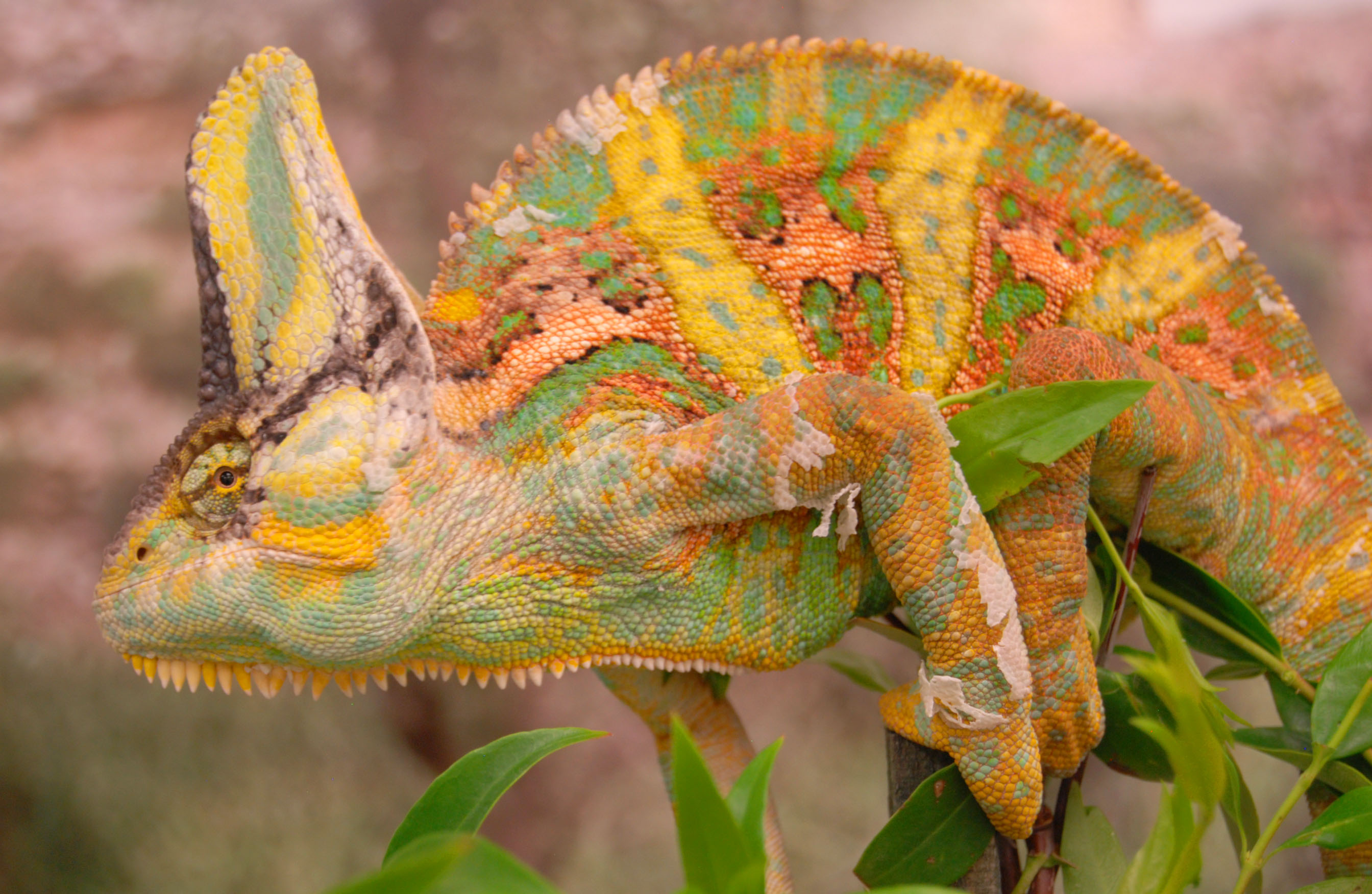 study shows male chameleons fighting prowess tied to color changing