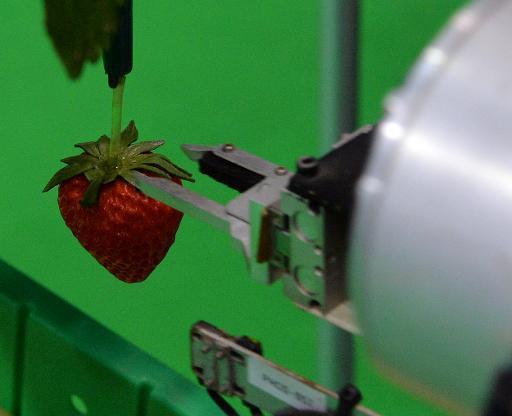 Japan robot can pick strawberry fields forever for farmer