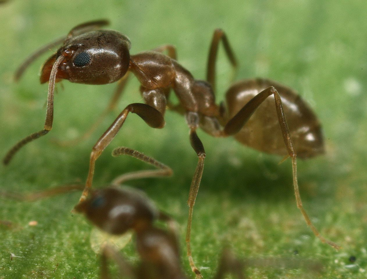 find asian needle ants displacing other aggressive invaders