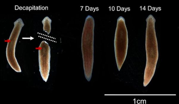 Researchers Discover Flat Worms Retain Memories Even After