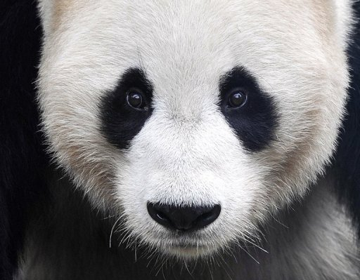 Chinese pandas get warm welcome in Toronto