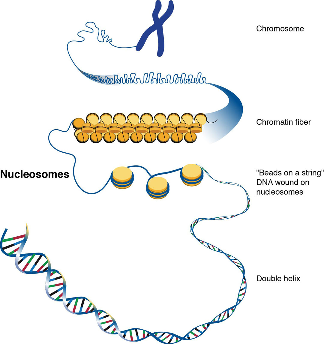 relationship between histones and nucleosomes image
