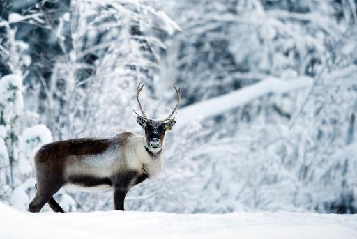 Mining Threatens Sami Reindeer Herding In Sweden