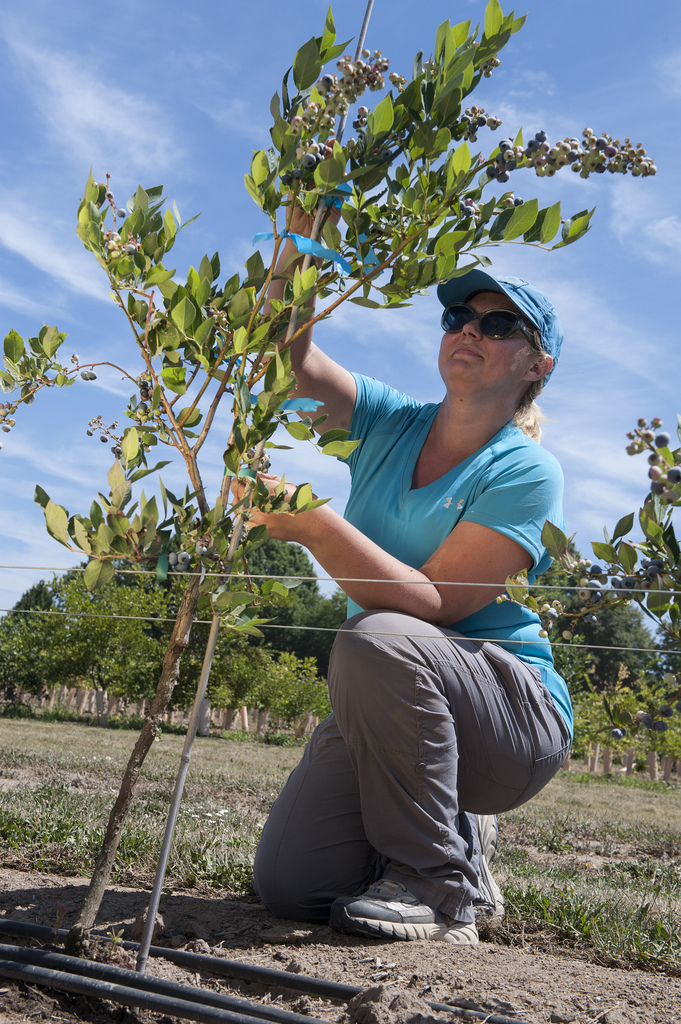 "single-stem blueberry ""tree"" may lower production costs"