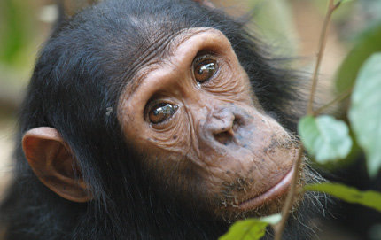 chimps use touches and noisy gestures when trying to get another